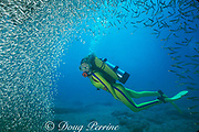 diver and silversides or glass minnows on wreck of the Benwood, Key Largo, Florida ( Western Atlantic Ocean )