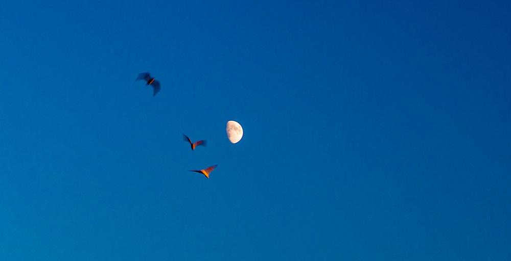 Gulls and moon, evening light, Ocotober, Port Angeles, WA, USA