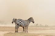 Plains zebras, Equus quagga, in a dust storm.