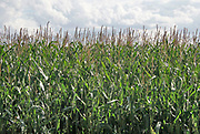 Nederland, Vredepeel, 19-8-2020  Een veld maisplanten . Foto: ANP/ Hollandse Hoogte/ Flip Franssen