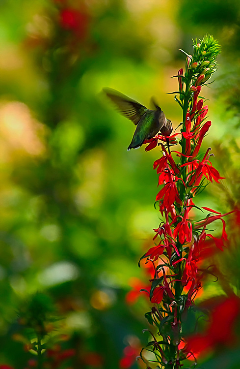 This little hummingbird sure loved these flowers at the Saint Louis Zoo. This beautiful bird was so hard to try and photograph as it flies so fast.