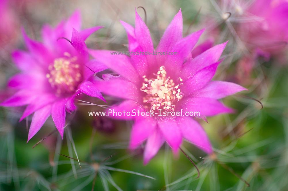 Flowering Bristle brush cactus (Mammillaria spinosissima) AKA  spiny pincushion cactus native to central Mexico