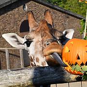 Smashing pumpkins at ZSL London Zoo