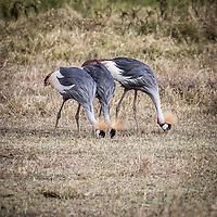 Grey Crowned Crane at Lake Nakuru, Kenya.