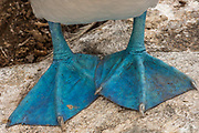 Blue-footed booby (Sula nebouxii excisa) feet<br /> Española or Hood Island<br /> Galapagos Islands<br /> ECUADOR.  South America<br /> By far the least common of the three booby species in Galapagos but the Blue-footed boobies are the most commanly seen as their small colonies are spread throughout the archipelago. They nest close to shore on flat areas. The nests are relatively closely spaced, but consist of nothing more than a shallow scrape in the ground. They have less than an annual breeding cycle and different colonies can be found breeding around the archipelago throughout the year. Their courtship antics are entertaining. In trying to attract a mate the male actually dances. If a female is attracted to him she will join him and together they will dance the 'booby two step'. Sexes are differentiated by the eyes. Males appear to have smaller pupils than females. (females have a darkly stained iris giving the impression of a larger pupil) The female is also larger and her voice is distinct - a honk while the male whistles. They are inshore feeders and are able to dive in shallow water. As they feed close to shore it is feasible for the parent birds to return with food sufficient for three chicks so in a good year they may raise up to three.