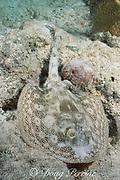 yellow stingray, Urolophus jamaicensis, Biscayne National Park, Florida (Atlantic)