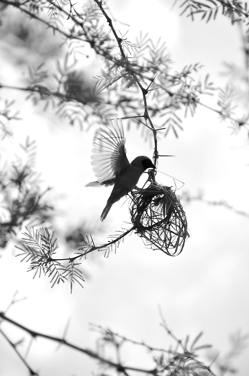 A busy weaver bird begins a nest in the Cradle of Humankind, South Africa