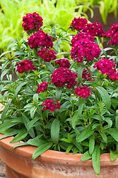 Dianthus 'Dash Violet'. Sweet William