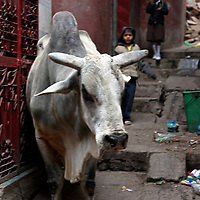 Asia, India, Varanasi. The cow is worshipped as a sacred animal in India.