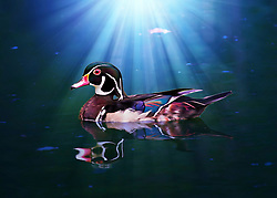 A wood duck swims in a sea of blue as the sun sets and rays illuminate the waterfowl.