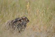 European hare, Lepus europaeus, Eastern Rhodope mountains, Bulgaria