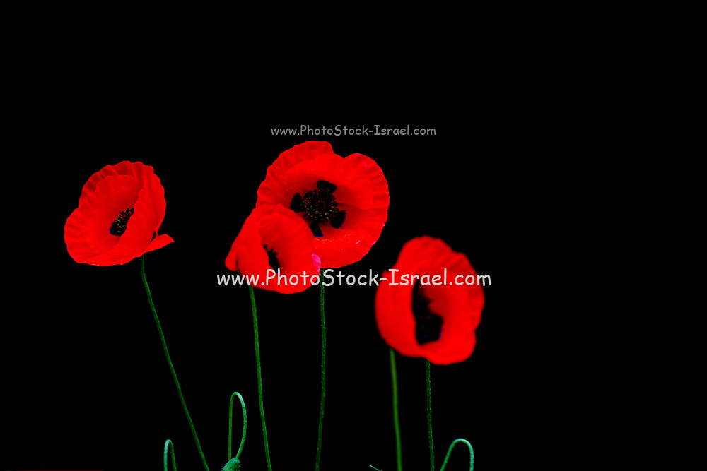 Back lit red poppy flowers on black background