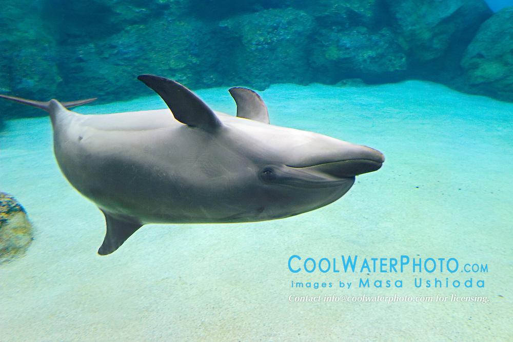 bottlenose dolphin, Tursiops truncatus, swimming upside down (c)