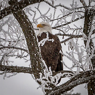 Bald Eagle, perched high in a tree on a frosty January day, on a farm off a country road in Dane County, Wisconsin.