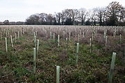 Saplings planted by HS2 contractors as a measure intended to mitigate for the destruction of nearby ancient woodland at Jones Hill Woods are pictured on 24th November 2020 in Aylesbury Vale, United Kingdom. A large section of Jones Hill Woods, which is believed to have inspired Roald Dahl's children's story Fantastic Mr Fox, is threatened with imminent destruction for the controversial HS2 high-speed rail project but work is currently paused following the raising of concerns by individuals and professional ecologists regarding the presence of rare barbastelle bats in the ancient woodland.
