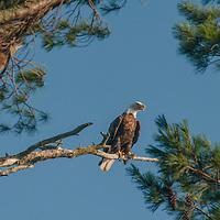 A Bald Eagle (Haliaeetus leucocephalus) perches in a white pine tree near Lake of the Woods, Ontario, Canada.