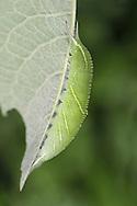 purple emperor larva