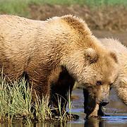 Alaskan Brown Bear, (Ursus middendorffi) Female with her cub drinking water near rivers edge. Katmai National Park. Alaska.