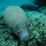 West Indian Manatee, (Trichechus manatus) Portrait of calf in freshwater spring. Florida.
