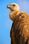 Euracian Griffon Vulture (Gyps fulvus), Native birds of Cres Island, Beli, Cres Island, Croatia .<br /> <br /> Visit our CROATIA HISTORIC SITES PHOTO COLLECTIONS for more photos to download or buy as wall art prints https://funkystock.photoshelter.com/gallery-collection/Pictures-Images-of-Croatia-Photos-of-Croatian-Historic-Landmark-Sites/C0000cY_V8uDo_ls