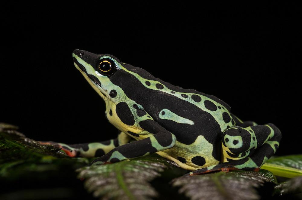 Harlequin frog (Atelopus spumarius)<br /> CAPTIVE<br /> Amazon region of<br /> ECUADOR. South America<br /> RANGE: Colombia, Ecuador, Brazil, French Guiana, Guyana, Peru, Suriname<br /> Amazon Basin<br /> Vulnerable<br /> Not recorded in E cuador since 1994