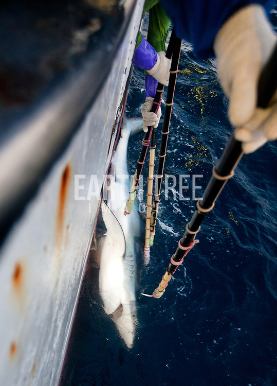 A blue shark is ( Prionace glauca ) is pulled from the deep waters in the Mozambique Channel, onboard a Japanese longliner, Fukuseki Maru No 07, 13th September 2012. The unregulated plunder of the Indian Ocean is a crisis Greenpeace is exploring. Greenpeace's ship, the Rainbow Warrior, is on a mission in the Indian Ocean to expose overfishing and to highlight the problems associated with excessive tuna fishing, unsustainable or illegal fishing practices, the lack of law enforcement, and the need for countries to cooperate and ensure that communities benefit from the wealth of their oceans in future. From 7 to 23 of September the Rainbow Warrior is sailing in Mozambican waters with fisheries enforcement officials on board in order to carry out joint surveillance and expose cases of illegal fishery. Photo: Paul Hilton / Greenpeace Over 100 million sharks are killed each year for the fin trade. Hong Kong, Singapore and China are the biggest consumers of shark fin globally. Indonesia is the biggest exported of shark fins annually. Photo: Paul Hilton for Earth Tree Images