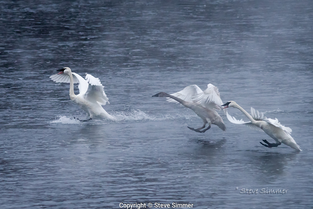 Trumpeter Swans announce themselves as they arrive at the Monticello Swan Park to await the morning feeding.