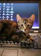 Middletown, NY -  A kittens sits on a laptop keyboard on Sunday, Sept. 20, 2009.