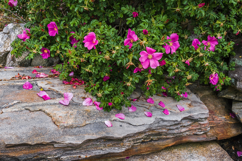 Detail of rugosa rose bush and petals on large rock, Round Pond, Bristol, ME