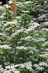 Viburnum plicatum 'Mariesii'. Japanese Snowball Bush