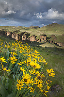 Arrowleaf Balsamroot (Balsamorhiza sagittata), Succor Creek State Natural Area Oregon. Canyon walls are composed of volcanic tuff. Area famous for thunder egg collectors.