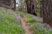 Lupines under the Ponderosa Pines and Douglas Firs but are these arbustur, lepidus or polyphullus or some other one?