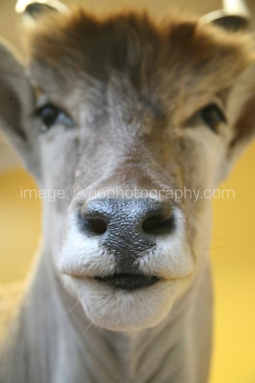 Stuffed Eland Antelope in a museum in Dublin