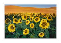 Sunflowers and wheat, the Palouse Washington