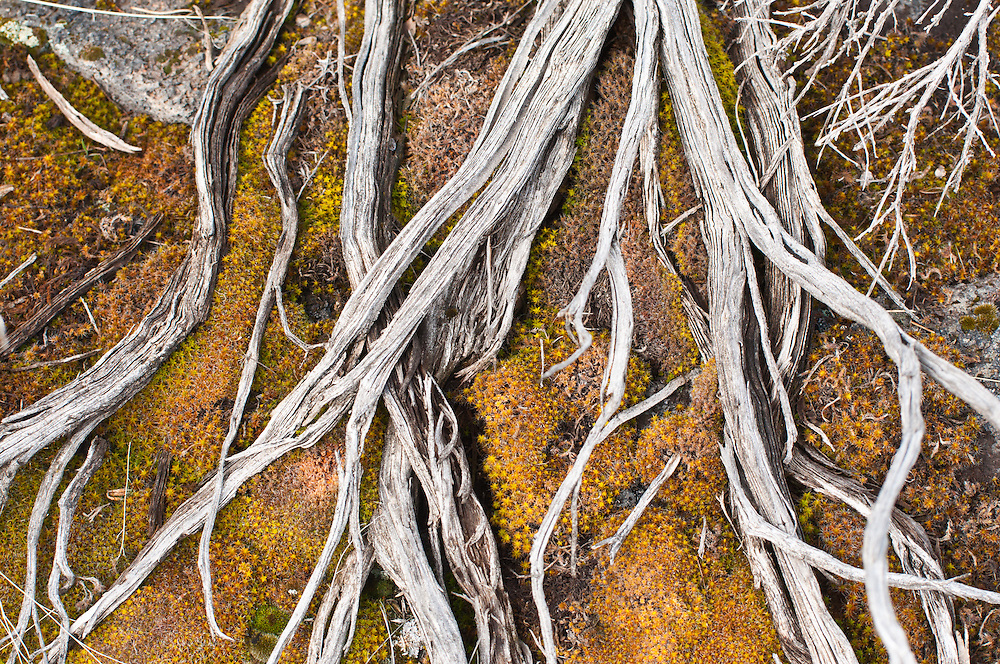 Dead sagebrush branches over a mat of moss in Diamond Craters Outstanding Natural Area, Diamond, Oregon.