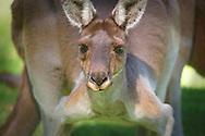 Western Grey Kangaroo, Pinnaroo, City of Joondalup, Perth, Western Australia