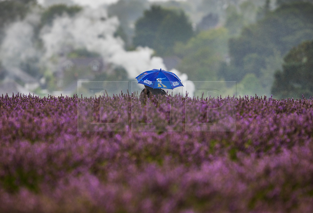 © Licensed to London News Pictures. 09/08/2017. Banstead, UK. A visitor to Mayfield Lavender Farm shelters under a Star Wars themed umbrella as he braves the summer rain. Bands of heavy unseasonal rain are crossing the UK. Photo credit: Peter Macdiarmid/LNP