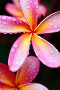 An image of some pink and yellow plumeria with raindrops on them.