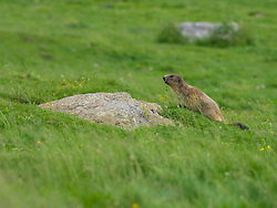Groundhog near Pont d'Estaube, France