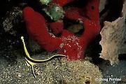 juvenile jackknife fish ( drum ), Equetus lanceolatus, Orca Point, Saint Vincent, St. Vincent & the Grenadines, West Indies ( Eastern Caribbean Sea )