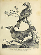 The common Roller and the Indian Roller Copperplate engraving From the Encyclopaedia Londinensis or, Universal dictionary of arts, sciences, and literature; Volume V;  Edited by Wilkes, John. Published in London in 1810