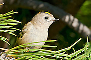 "The Goldcrest, Regulus regulus, is a very small passerine bird in the kinglet family. Its colourful golden crest feathers gives rise to its English and scientific names, and possibly to it being called the ""king of the birds"" in European folklore."