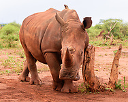 Young white rhinoceros rubs its shoulder on a stump, having the tough appearance of a a full grown rhino [Secret Location] © David A. Ponton
