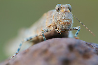 Blue-winged grasshopper  (Oedipoda caerulescens) on an island in the river Allier. Pont-du-Chateau, Auvergne, France.