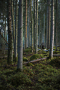 "Boreal forest growing on large groups of granite boulders called ""Kalvas"", nature monument ""Kaltenes kalvas"", Latvia Ⓒ Davis Ulands   davisulands.com"