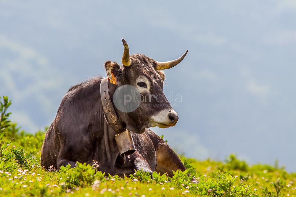 Vaca tudanca, Cantabria ©Country Sessions / PILAR REVILLA