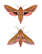 69.016 (1991)<br /> Elephant Hawk-moth - Dielepis elpenor