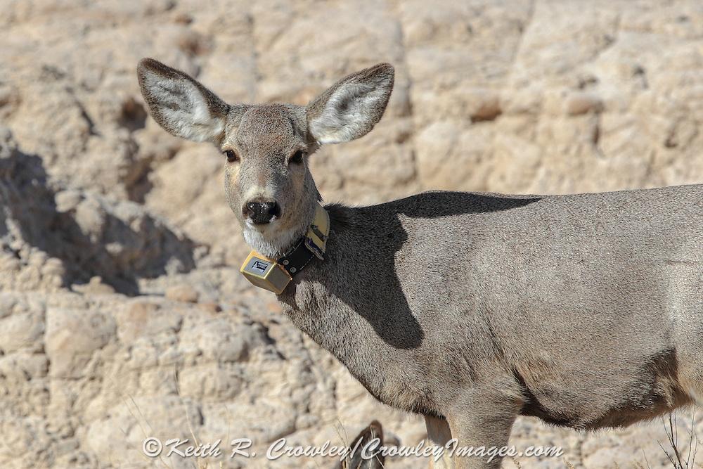 Mule deer in habitat