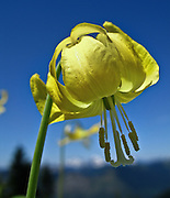 """A yellow flower of a Glacier Lily grows on Scorpion Mountain, a hike (9 miles round trip, 2500 feet total gain) near Skykomish, US Highway 2, Washington, USA. Published in """"Light Travel: Photography on the Go"""" by Tom Dempsey 2009, 2010."""