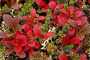 Alaska. Autumn tundra color with crowberries, bearberries, lichen, and cranberry plants, Kantishna